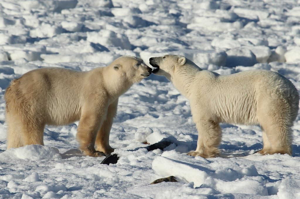 churchill-manitoba-polar-bears