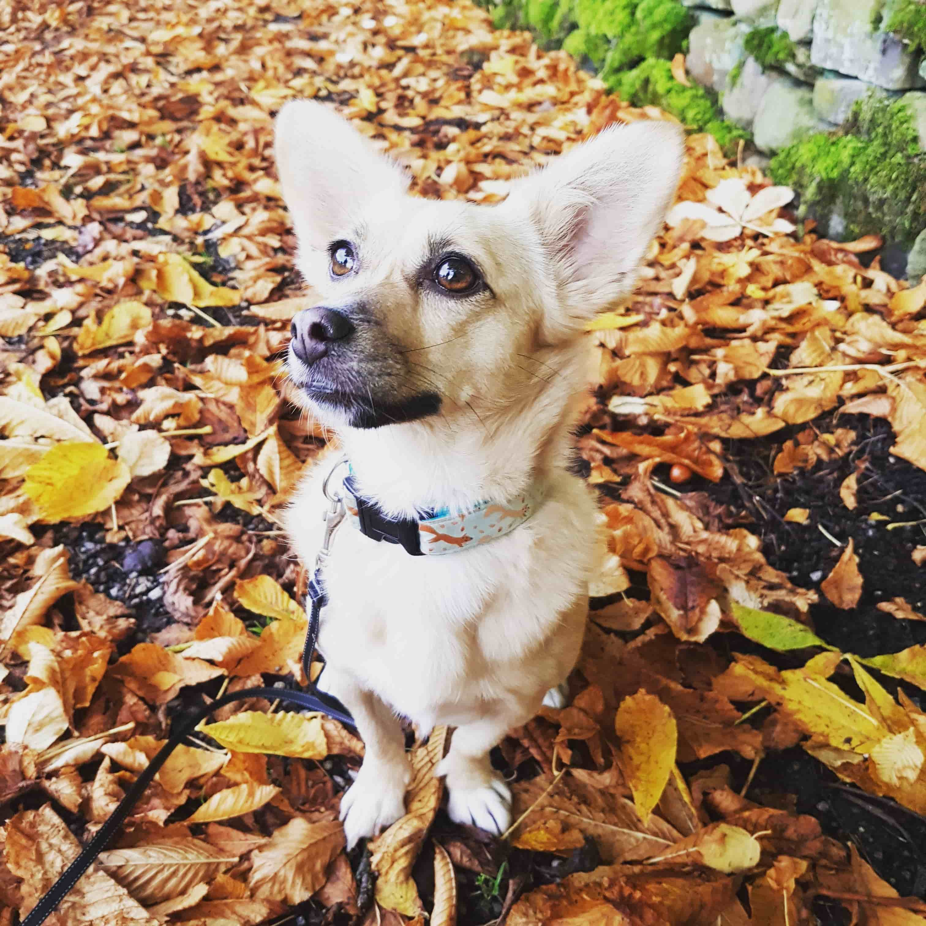 dog autumn