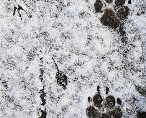 paw-prints-snow