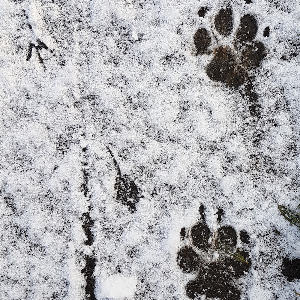 paw-prints-snow
