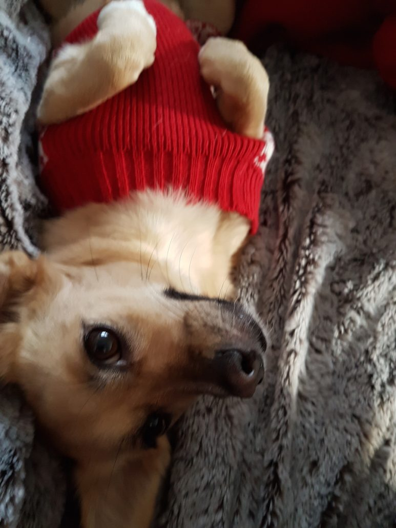 rescue-dog-in-jumper